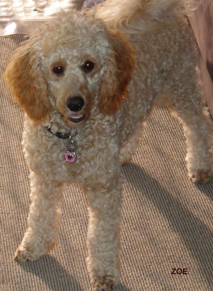 Full Grown Miniature Poodle Images - Reverse Search